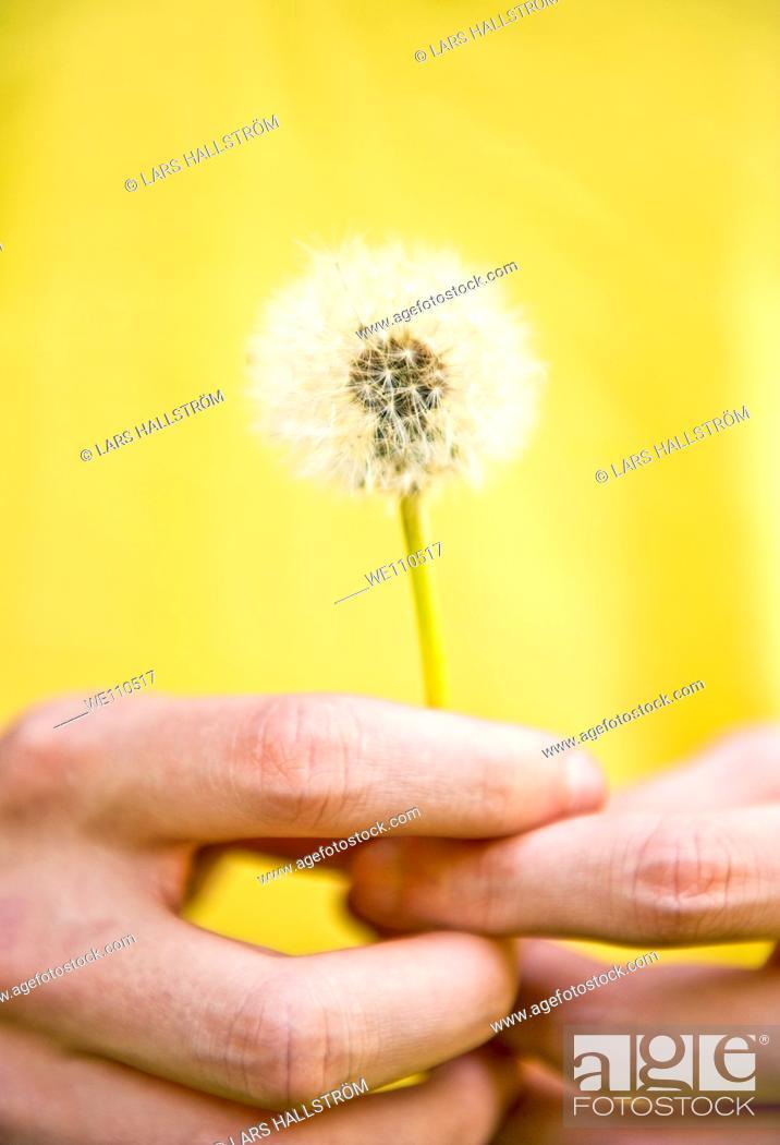 Stock Photo: Close-up of hands holding dandelion Taraxacum.
