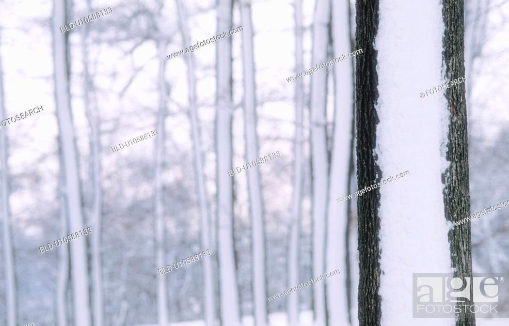 Stock Photo: winterwald, austria, calf, cold, december, forest, frost.