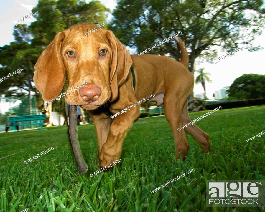 Stock Photo: young puppy carrying a stick through the park.