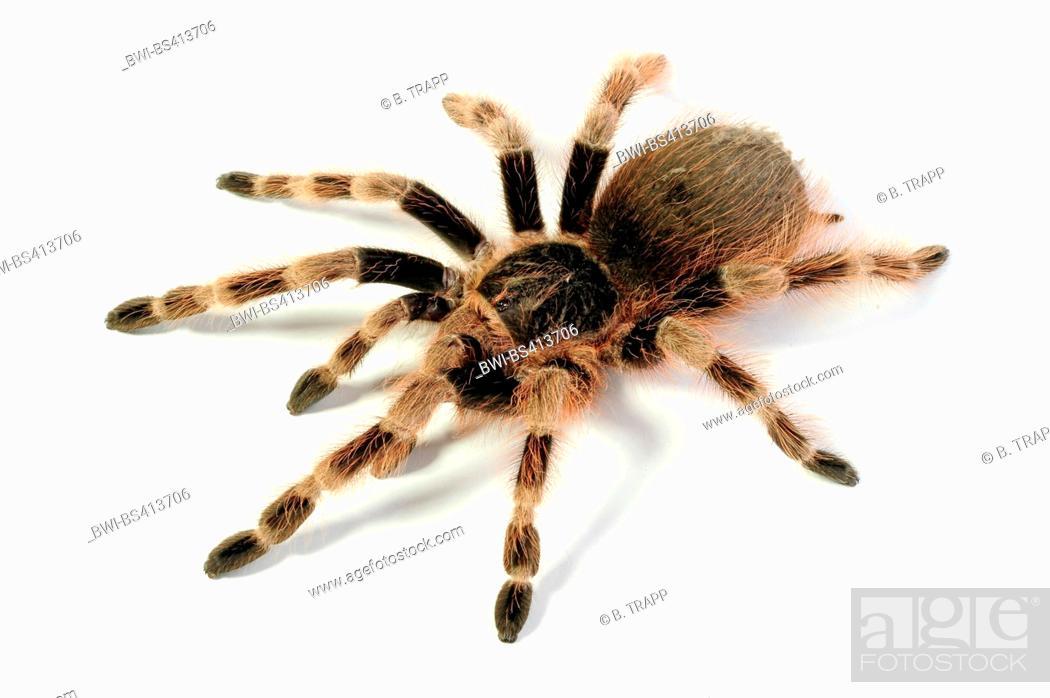 Stock Photo: Brazilian Black and White, Brazilian red and white tarantula (Nhandu colloratovillosum, Brazilopelma coloratovillosum), cut-out.
