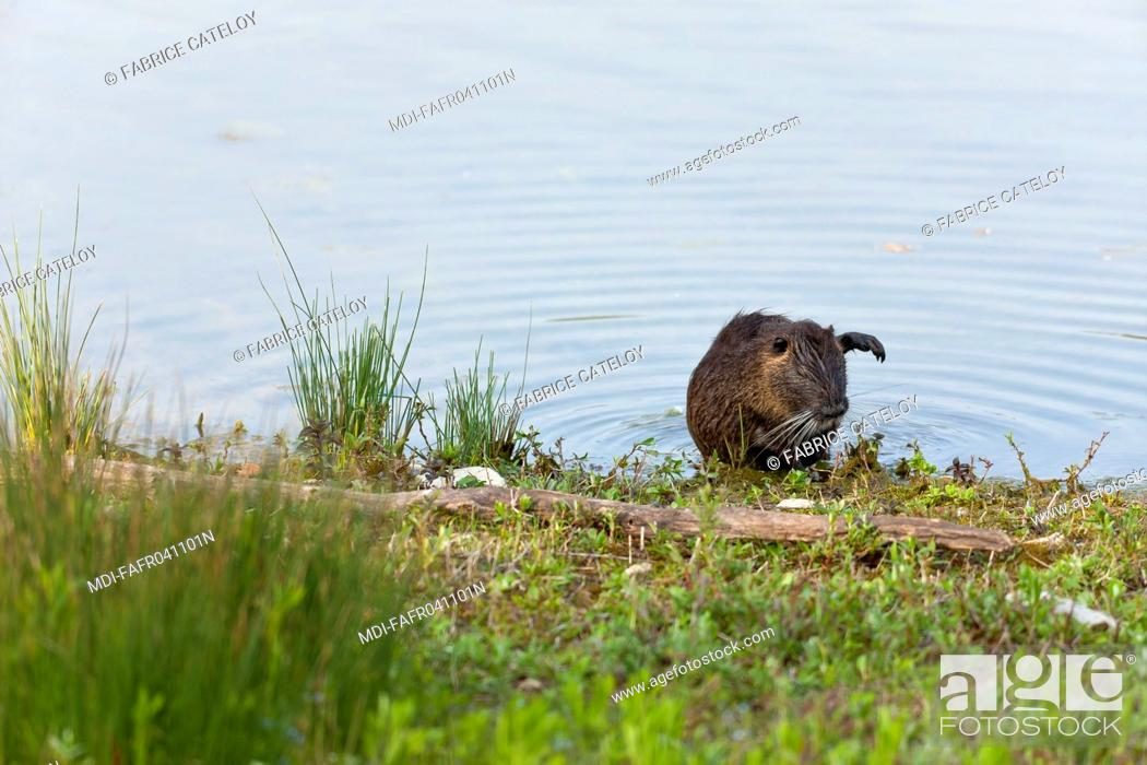 Imagen: Nature - Fauna - Coypu - Coypu going out water.