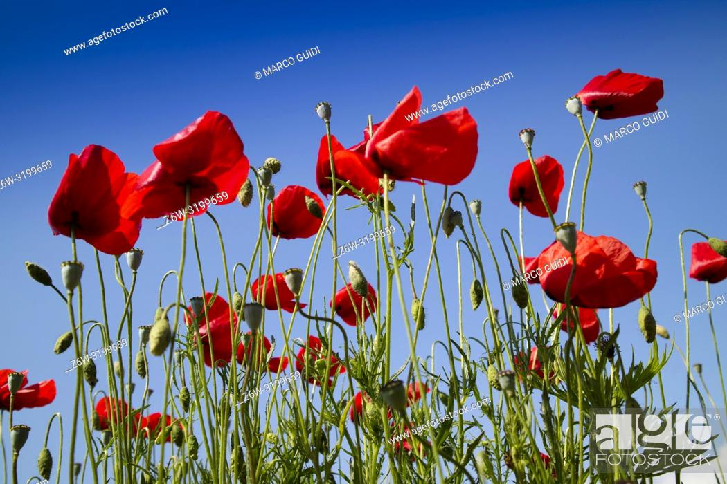 Stock Photo: View of a field of poppies at the end of seasonal flowering.