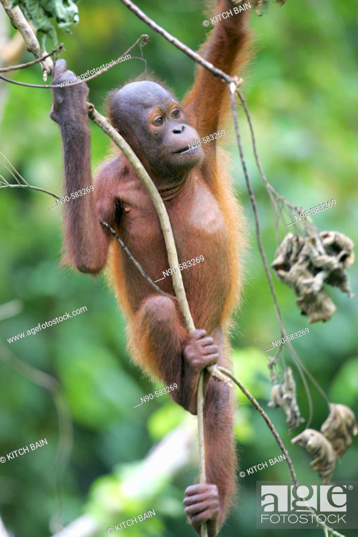 Stock Photo: Orphan orang-utans at nursery. Sepilok Orang Utan Sanctuary, Sandakan, Borneo, Malaysia.