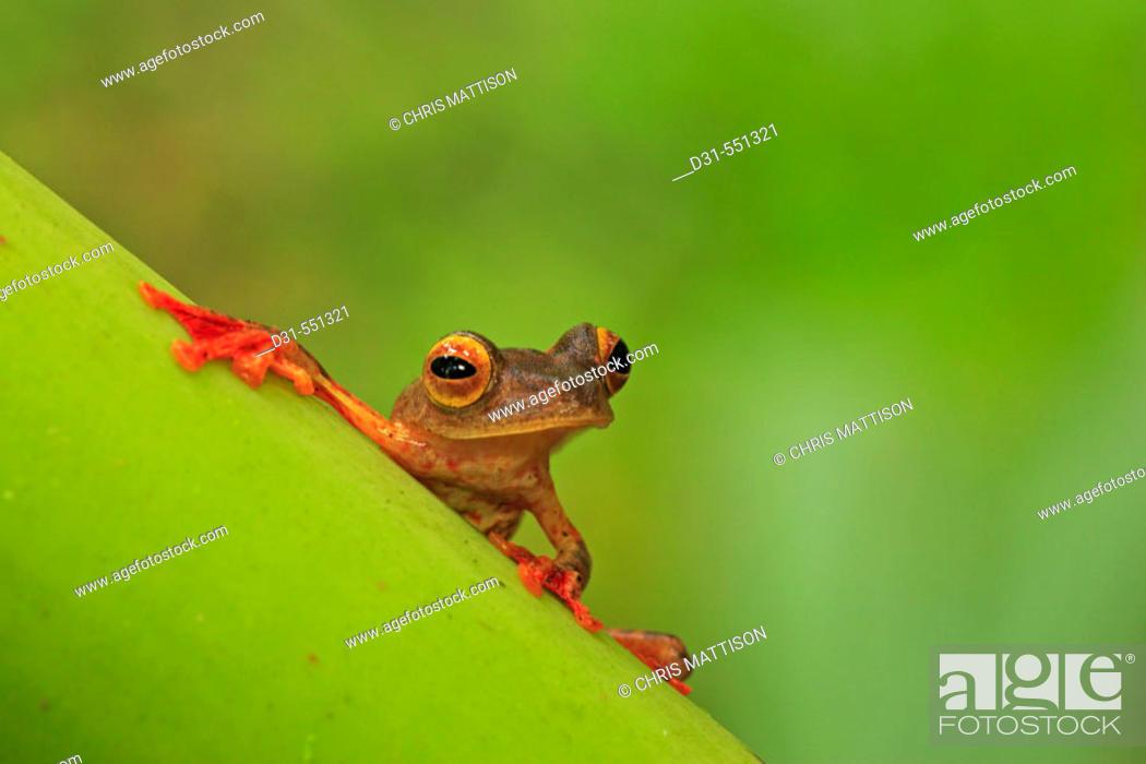 Stock Photo: Harlequin Gliding Tree Frog, Rhacophorus pardalis. Danum Valley, Sabah, Borneo.