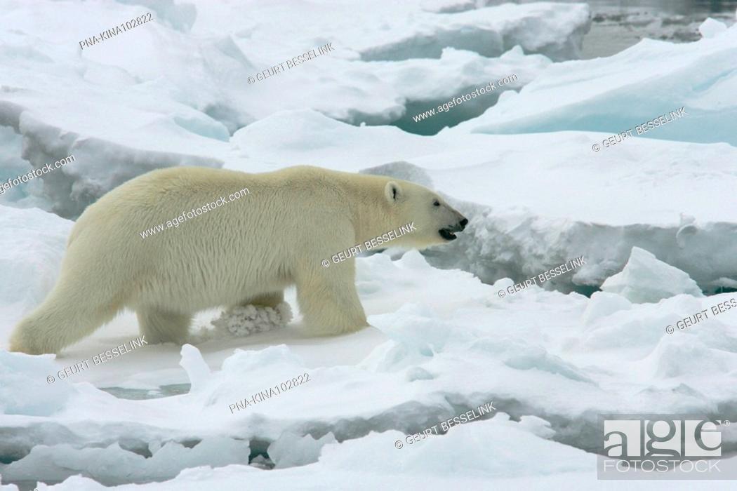 Photo de stock: Polar bear Ursus maritimus - Spitsbergen, Svalbard, Europe.