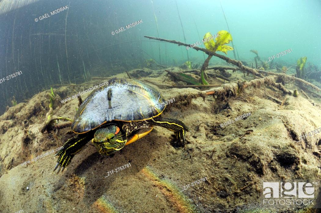 Stock Photo: Invasive turtle imported from America in a lake of France. Trachemys scripta.