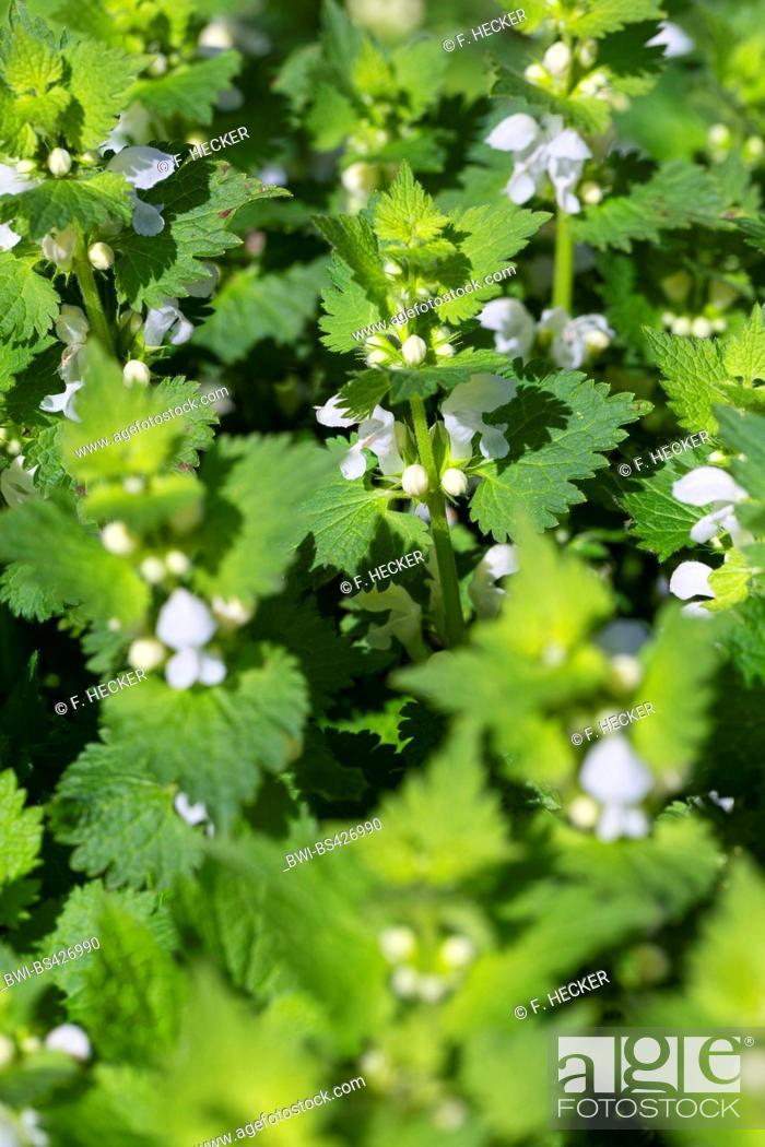Stock Photo: white dead-nettle, white deadnettle (Lamium album), blooming, Germany.