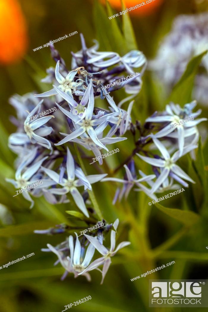 Imagen: Threadleaf blue star (Amsonia hubrichtii).