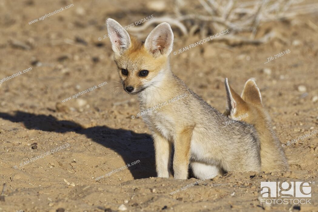 Stock Photo: Cape fox (Vulpes chama), two cubs at burrow entrance, evening light, Kgalagadi Transfrontier Park, Northern Cape, South Africa, Africa.
