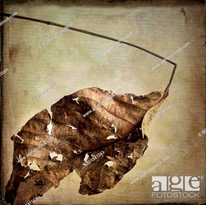 Stock Photo: Dry leaf.