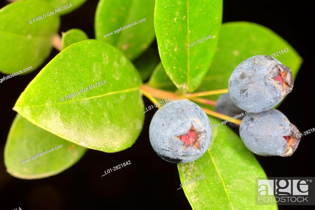 Imagen: Myrtle, Myrtus communi, with fruits.