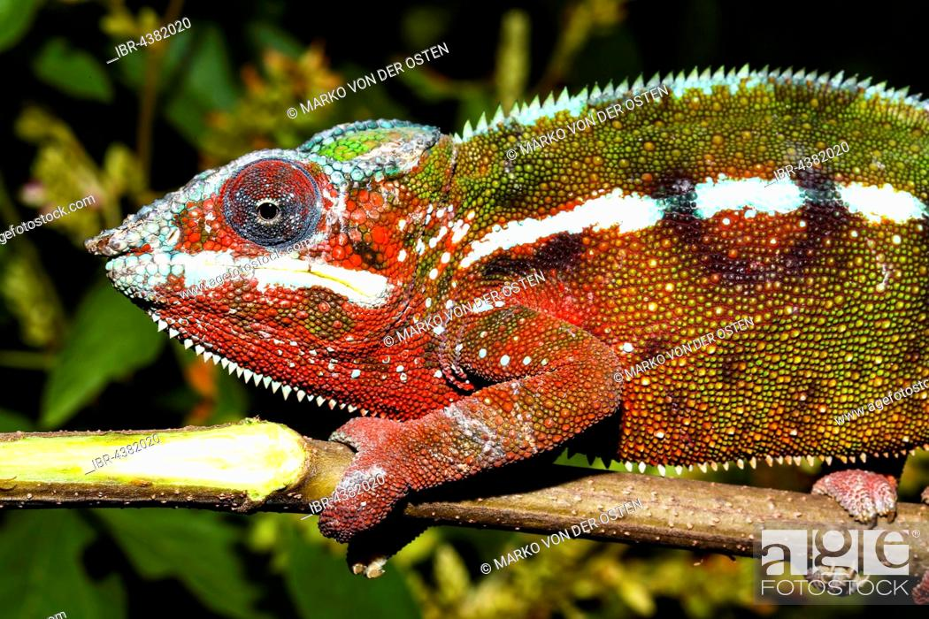 Stock Photo: Male panther chameleon (Furcifer Pardalis), Andasibe National Park, Alaotra-Mangoro, Madagascar.