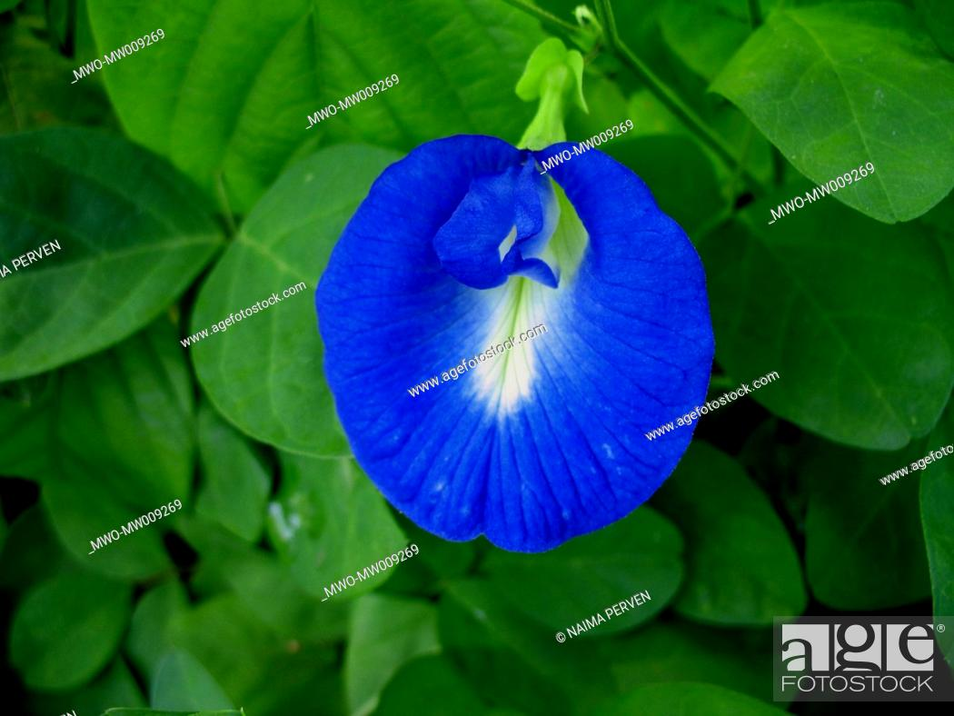 Stock Photo: A 'nil kontho' flower from Batiary, Chittagong Bangladesh 2006.
