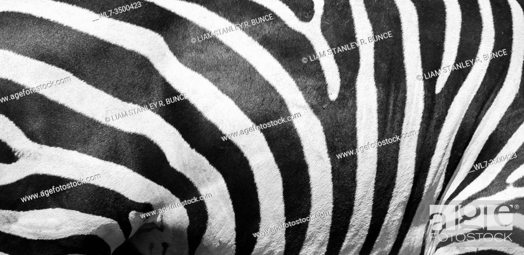 Stock Photo: Plains Zebra (Equus quagga) Bristol Wild Place Project England UK. July 2019.