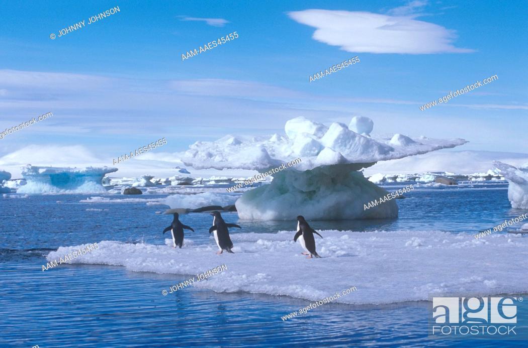 Stock Photo: Adelie Penguins on Ice Floe, Weddell Sea, Antarctica (Pygoscelis adeliae).