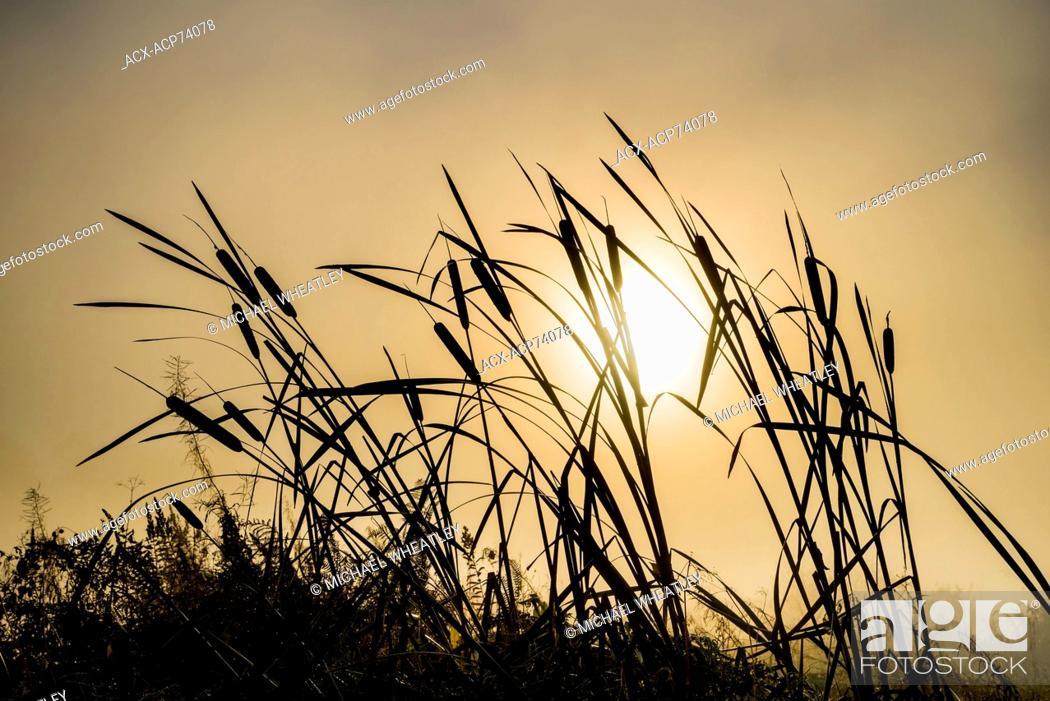 Stock Photo: Sunrise through cattails, Burnaby Lake Regional Park, Burnaby, British Columbia, Canada.