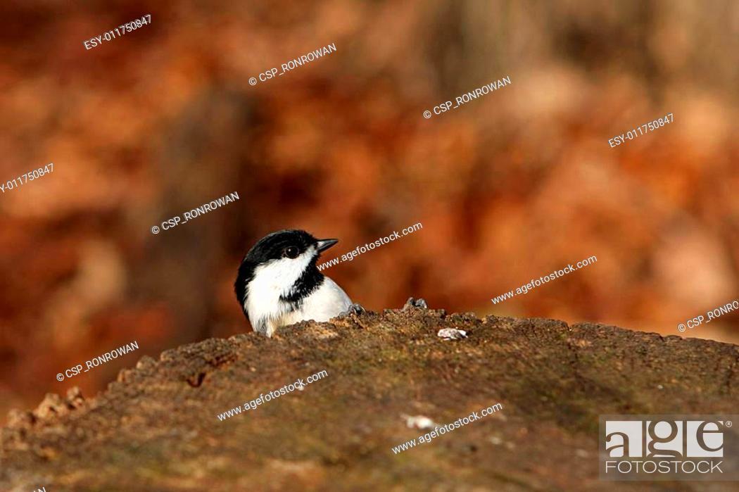 Stock Photo: Black-capped Chickadee Peek-a-boo.
