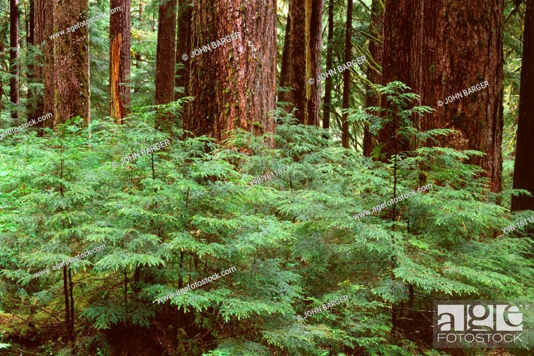 Stock Photo: Temperate rain forest with young western hemlock saplings beneath large trunks of mature western hemlock, Sol Duc Valley, Olympic National Park, Washington, USA.
