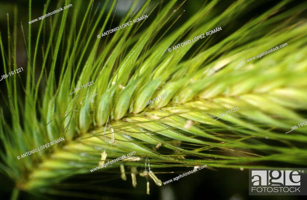 Stock Photo: Ear (Hordeum murinum).