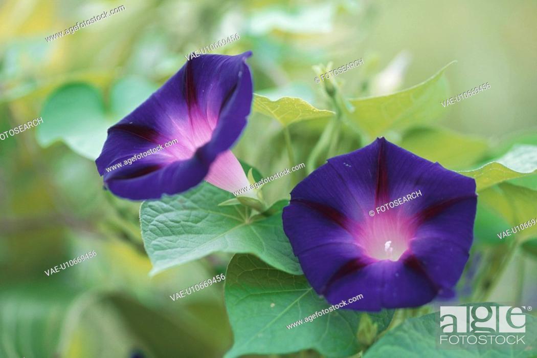 Stock Photo: Dark Blue Morning Glories.