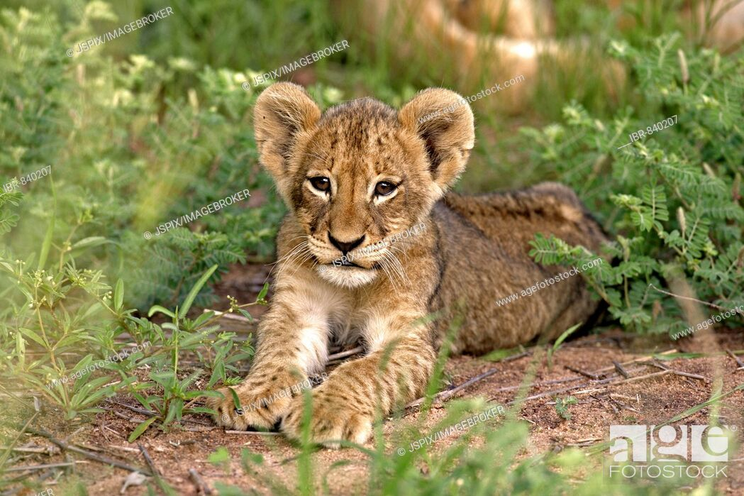 Stock Photo: Lion (Panther leo), cub, Sabi Sand Game Reserve, South Africa.