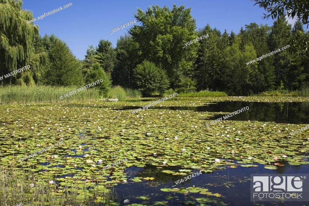 Stock Photo: Pond surface covered with pink Nymphaea - Water Lilies in summer, Montreal Botanical Garden, Quebec, Canada.