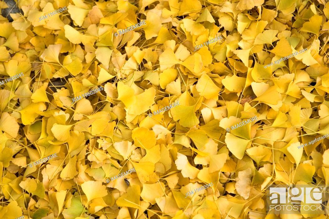 Stock Photo: Ginkgo leaves, Ginkgo biloba.