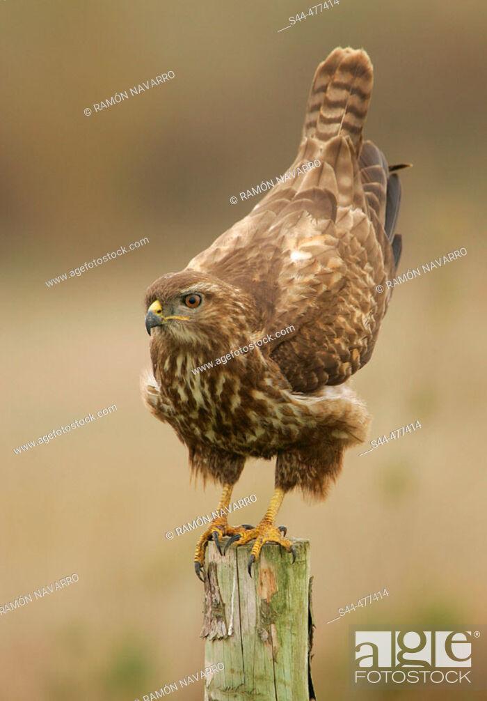 Stock Photo: Buzzard (Buteo buteo) on perch by Doñana National Park. Huelva province, Andalusia, Spain.