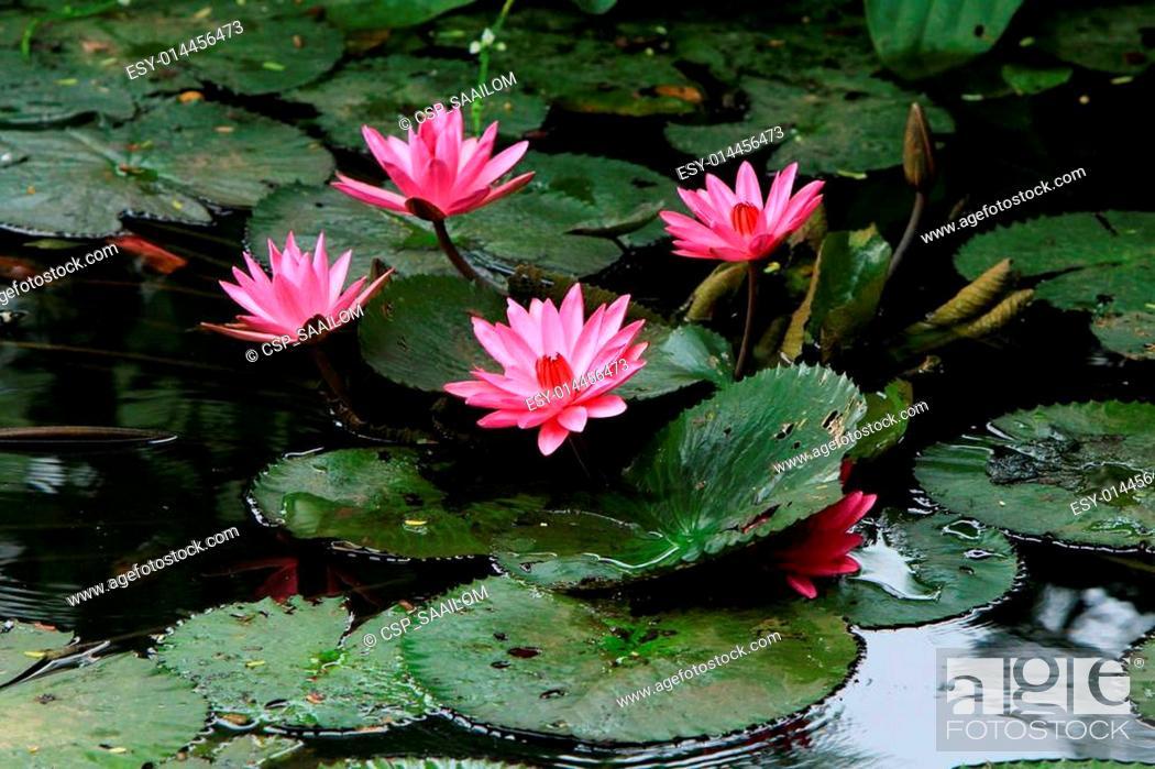 Imagen: Pink lotus in the water.