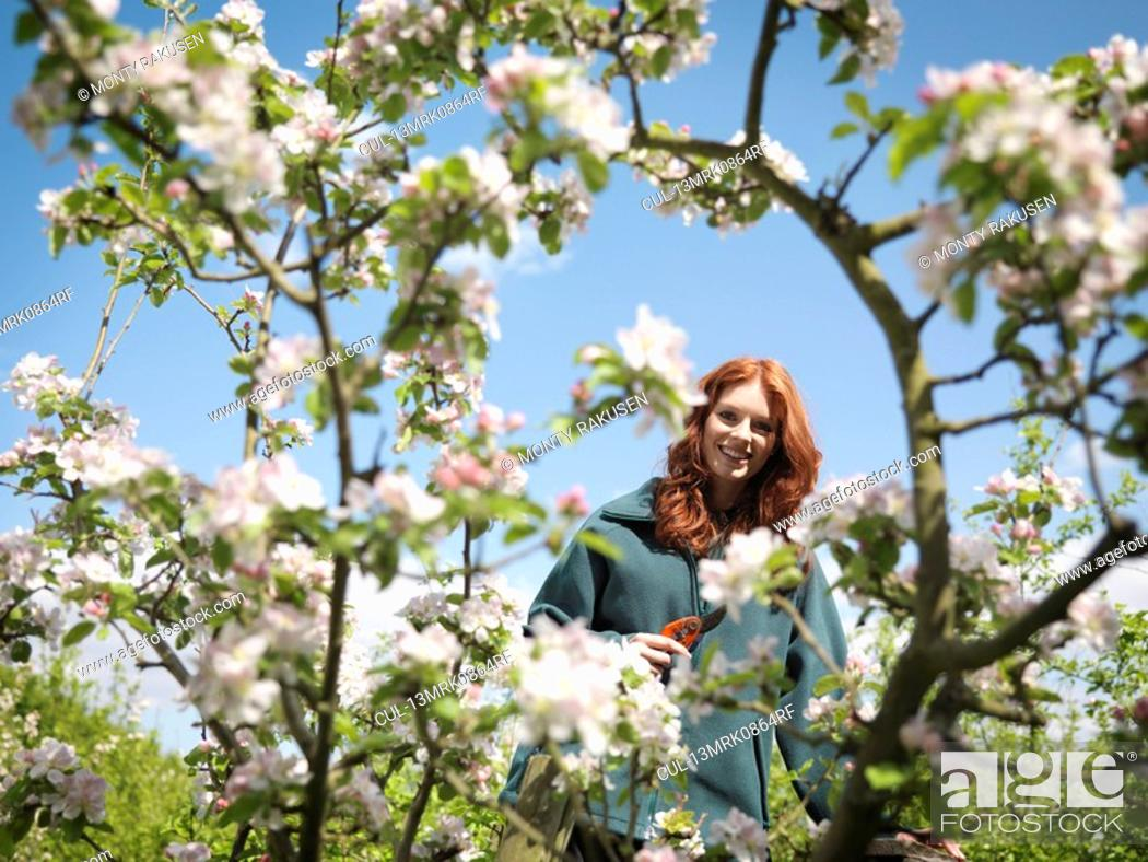 Stock Photo: Woman Cutting Apple Blossom In Orchard.