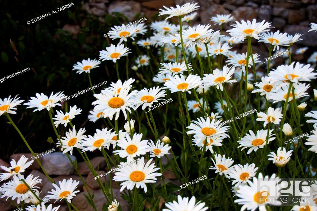 Imagen: Giant daisies. Shasta Daisy Leucanthemum x superbum, Pinos, Lleida, Catalonia, Spain.