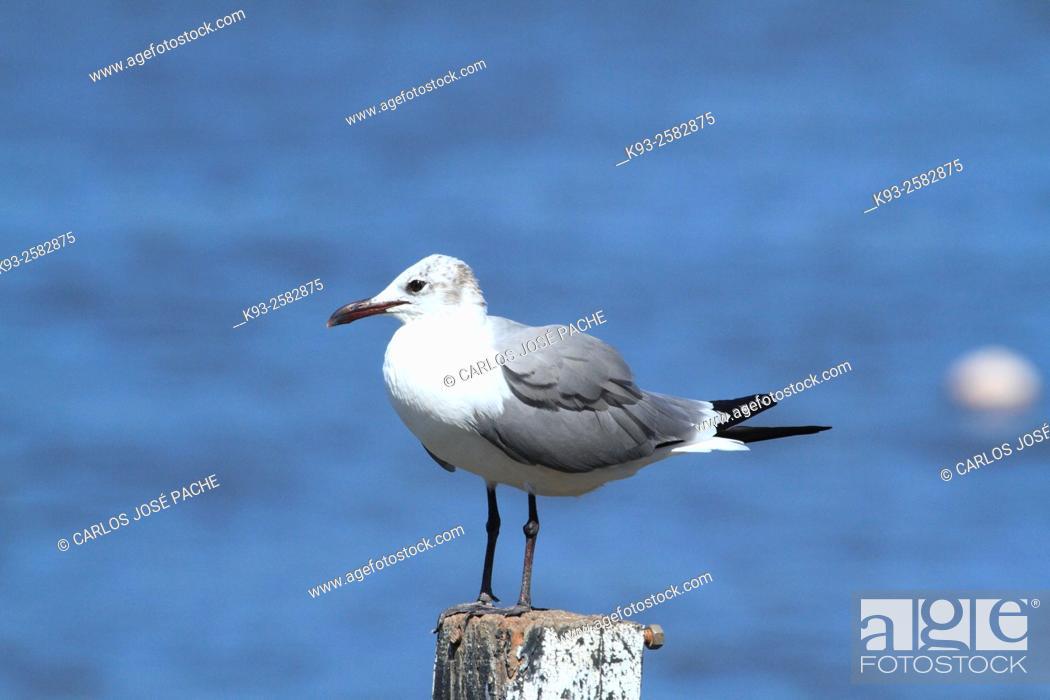 Stock Photo: Laughing Gull (Leucophaeus atricilla), Manuel Antonio National Park, Costa Rica.