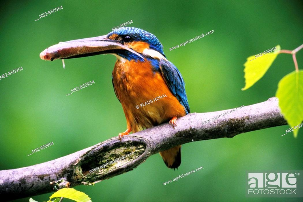 Stock Photo: Kingfisher Alcedo atthis with fish for its fledglings - Franconia, Bavaria / Germany.