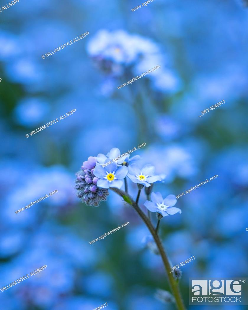 Imagen: Forget-me-not flowers grow in clumps.