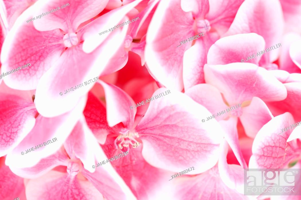 Stunning Close Up Hydrangea Cluster Of Small Pink And White Flowers