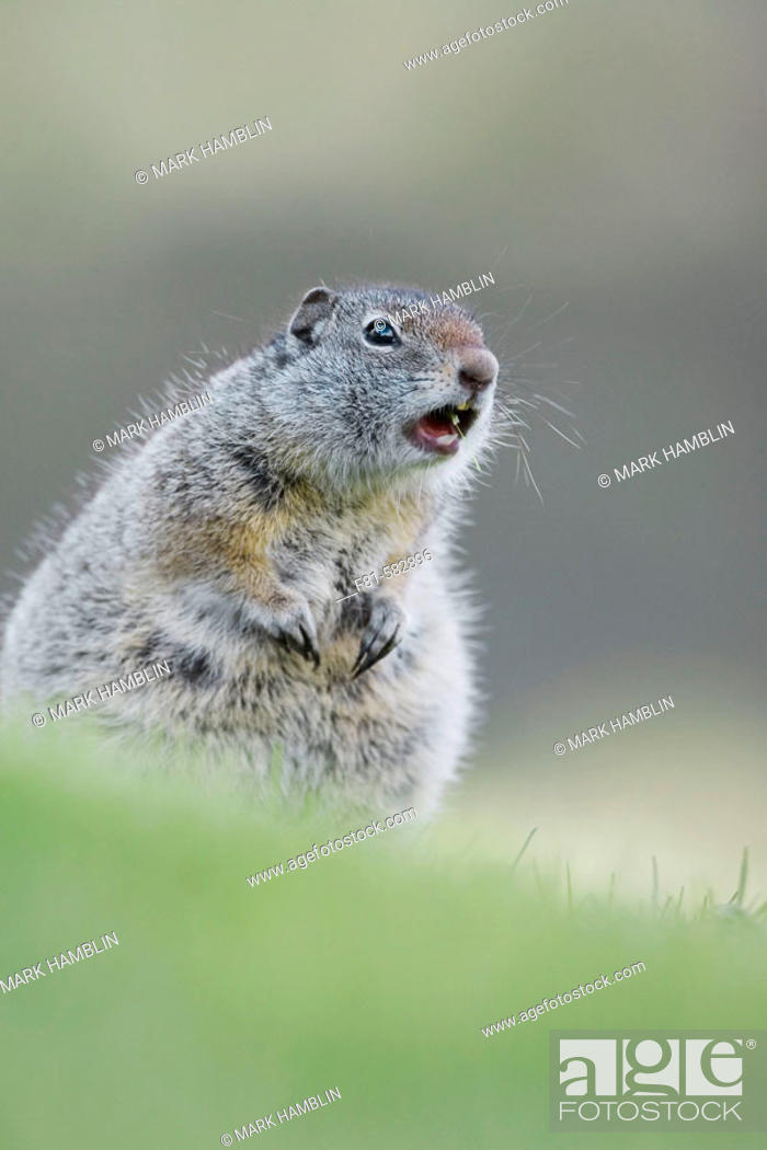Stock Photo: Uinta Ground Squirrel  (Spermophillus armatus) adult calling alarm. Yellowstone National Park, Wyoming, USA. June 2005.