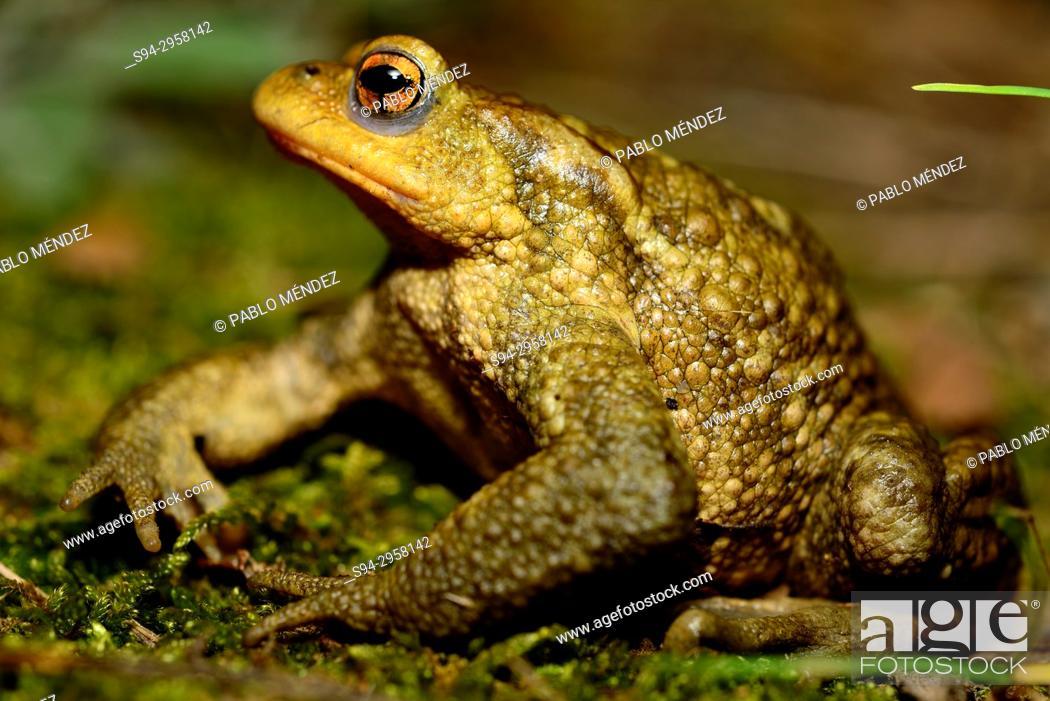 Stock Photo: Common toad (Bufo spinosus) in the Lac de la Cavayere, Carcassone, France.