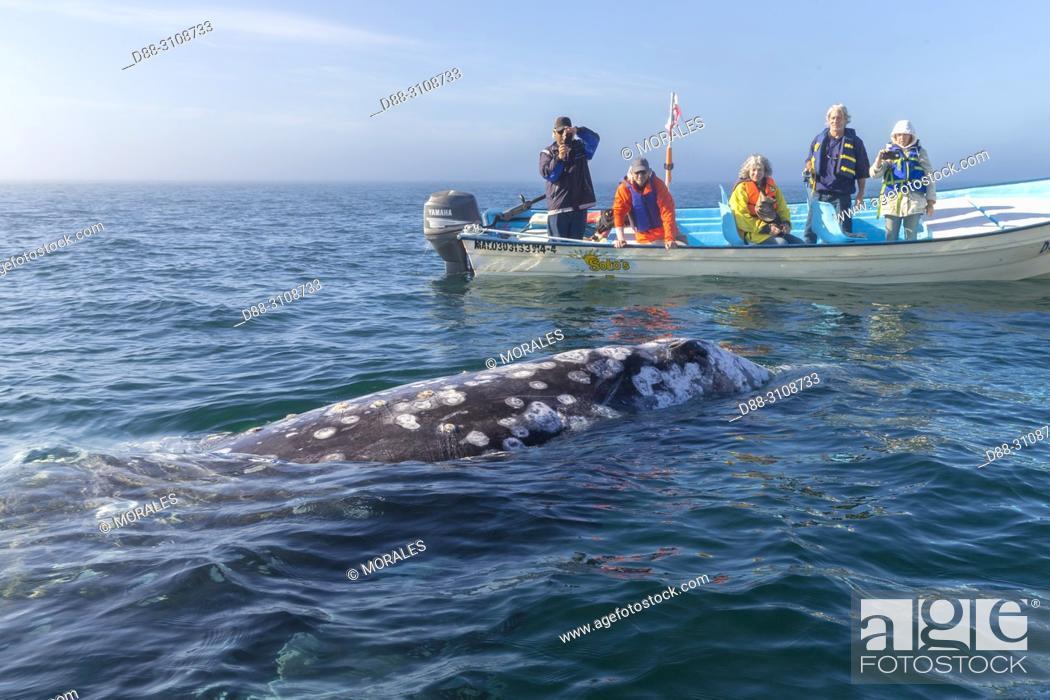 Stock Photo: Central America, Mexico, Baja California Sur, Puerto San Carlos, Magdalena Bay (Madelaine Bay), Tourist looking at Gray Whale (Eschrichtius robustus).