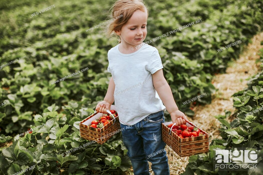 Imagen: Girl picking ripe strawberries on field.