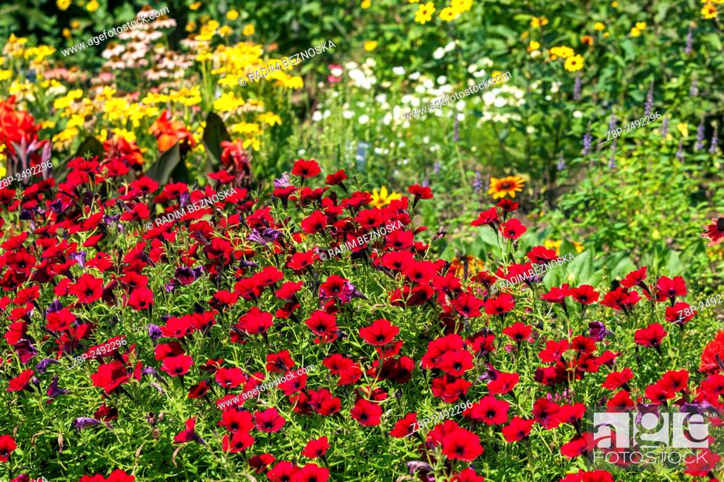 Red Petunia Flowers Garden Flower Bed Stock Photo Picture And Rights Managed Image Pic Z8p 2492296 Agefotostock