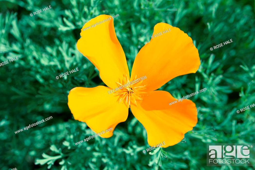 Yellow flower with four petals stock photo picture and rights stock photo yellow flower with four petals mightylinksfo