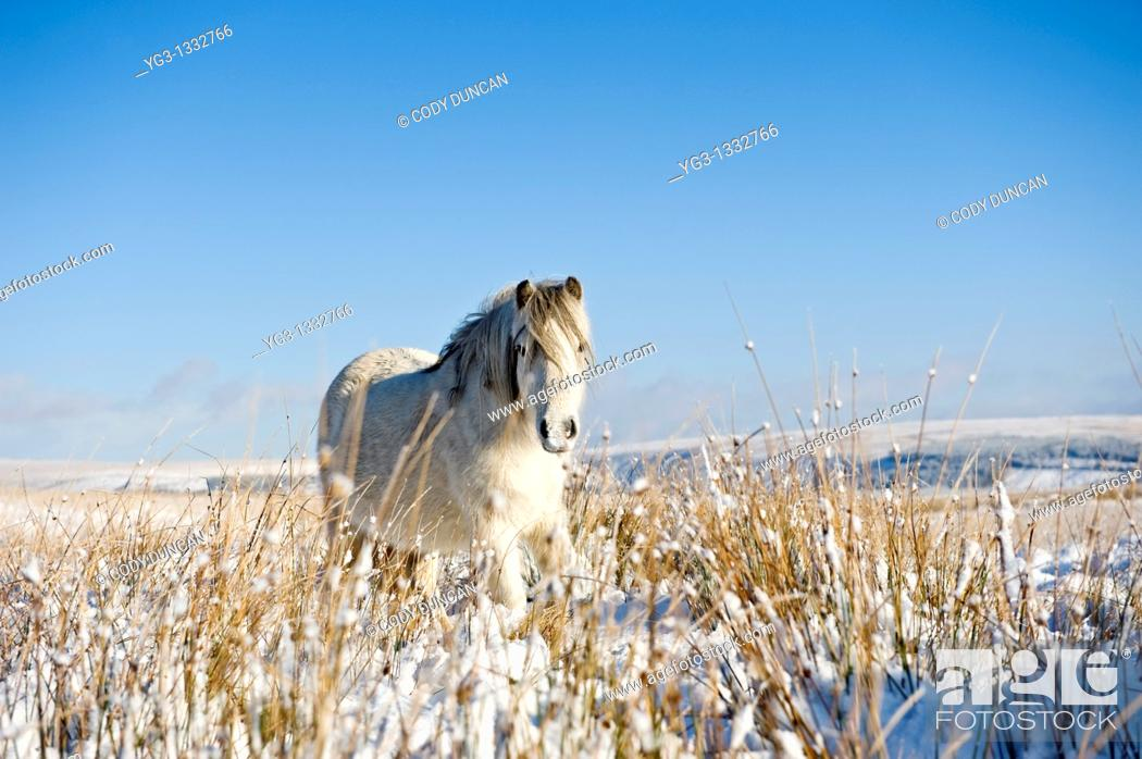 Stock Photo: Welsh mountain pony stands on snow covered field, Brecon Beacons national park, Wales.