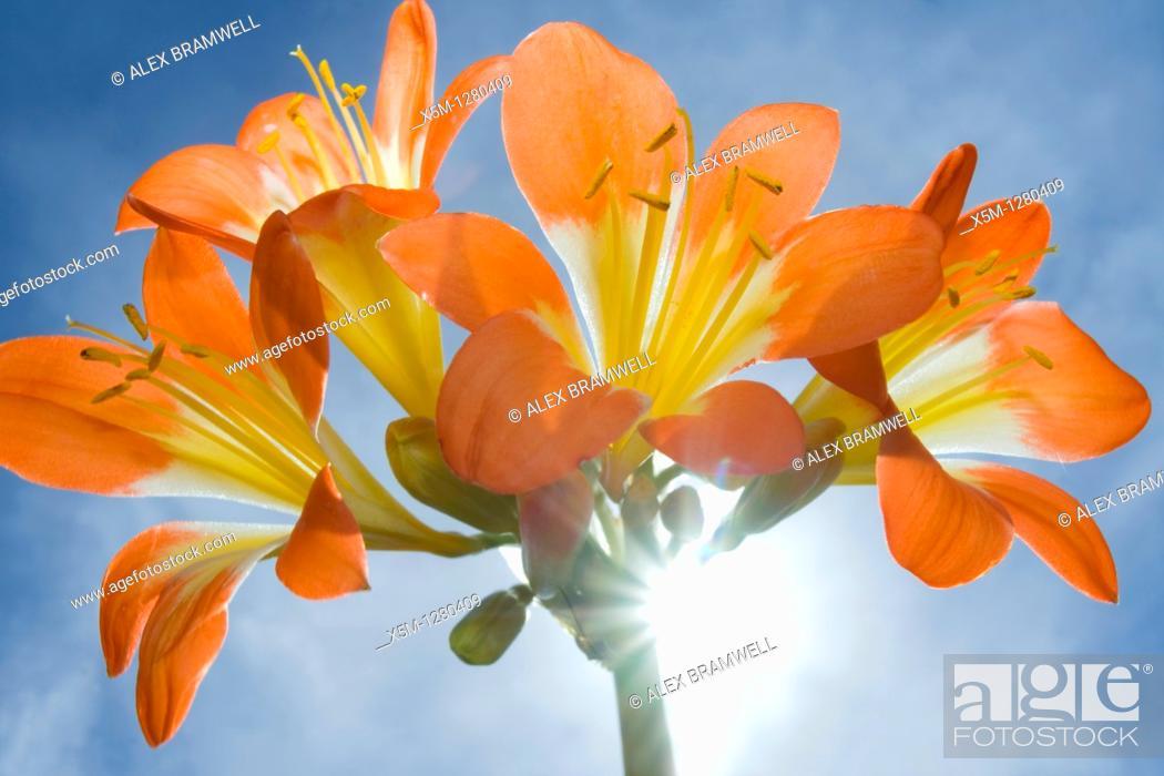 Stock Photo: Clivia miniata.