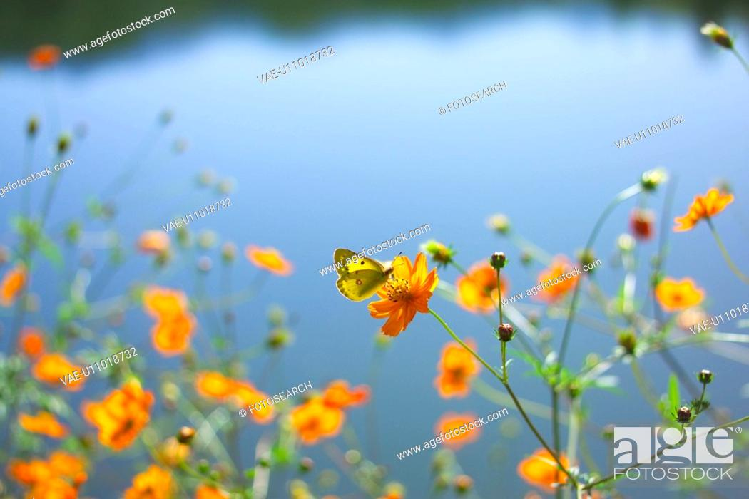 Stock Photo: Cosmos And A Butterfly.