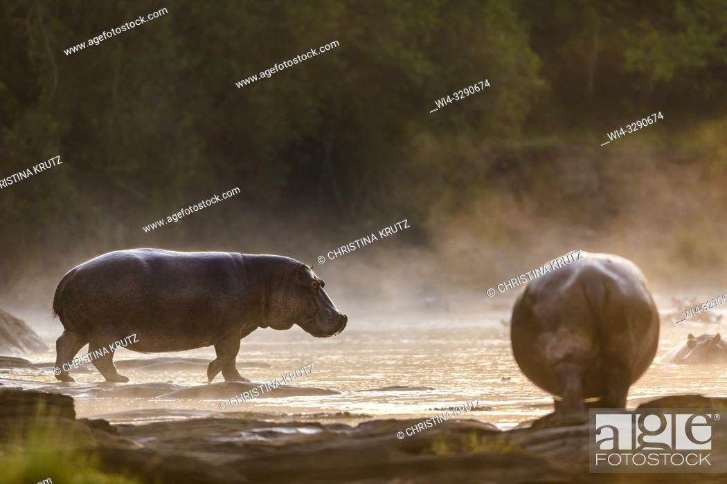 Stock Photo: Hippopotamus (Hippopotamus amphibus) standing on the edge of the Olare Orok River, Maasai Mara National Reserve, Kenya, Africa.