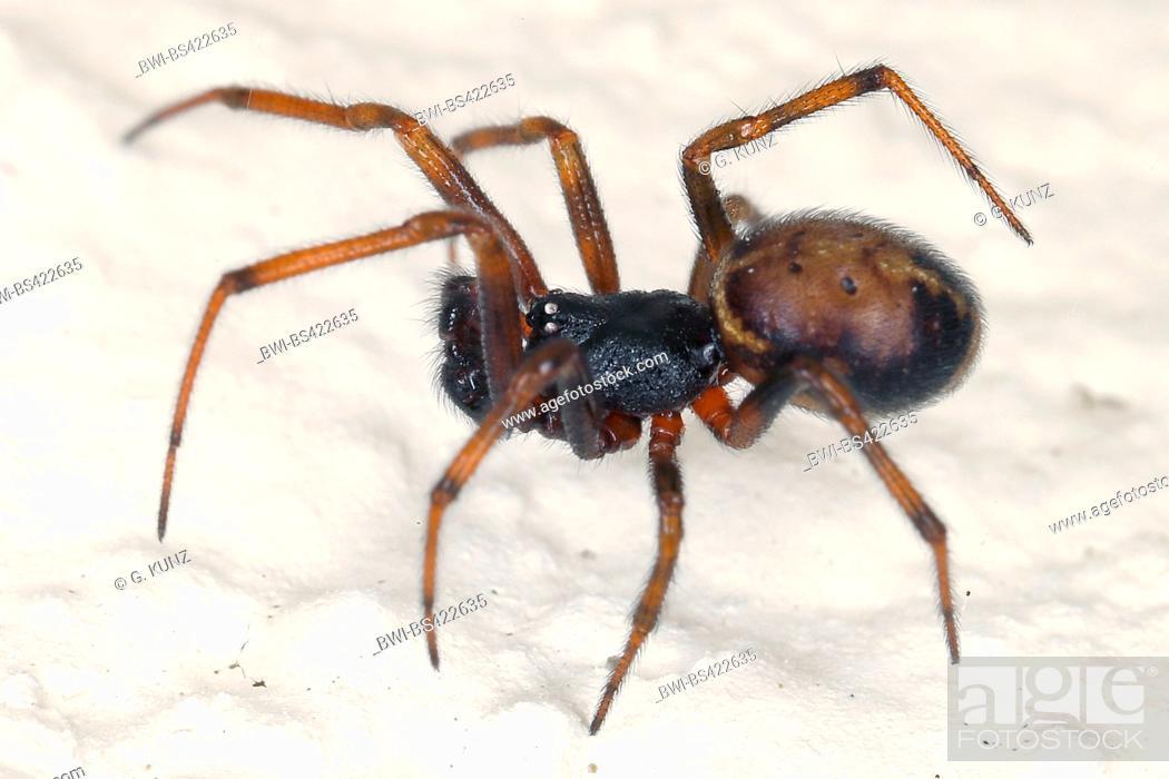 Stock Photo: rabbit hutch spider, two-spot spider (Steatoda bipunctata), on white ground, Austria.