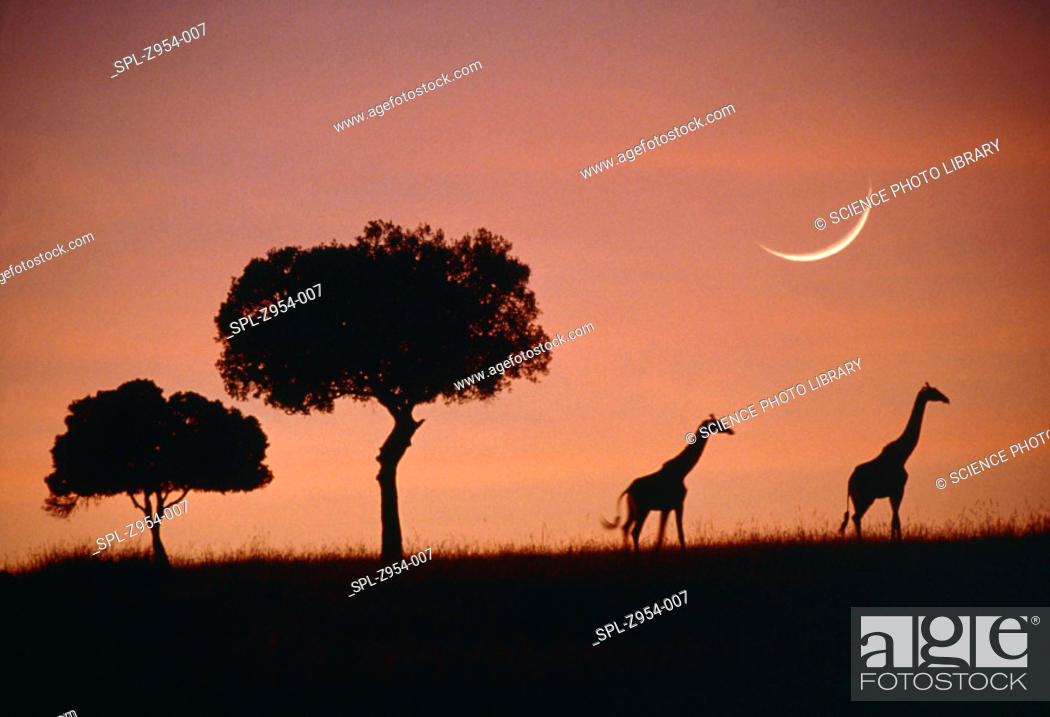 Stock Photo: 'Giraffes at dawn.  View of two Masai giraffes (Giraffa camelopardalis tippelskirchi) silhouetted against the sky at dawn.