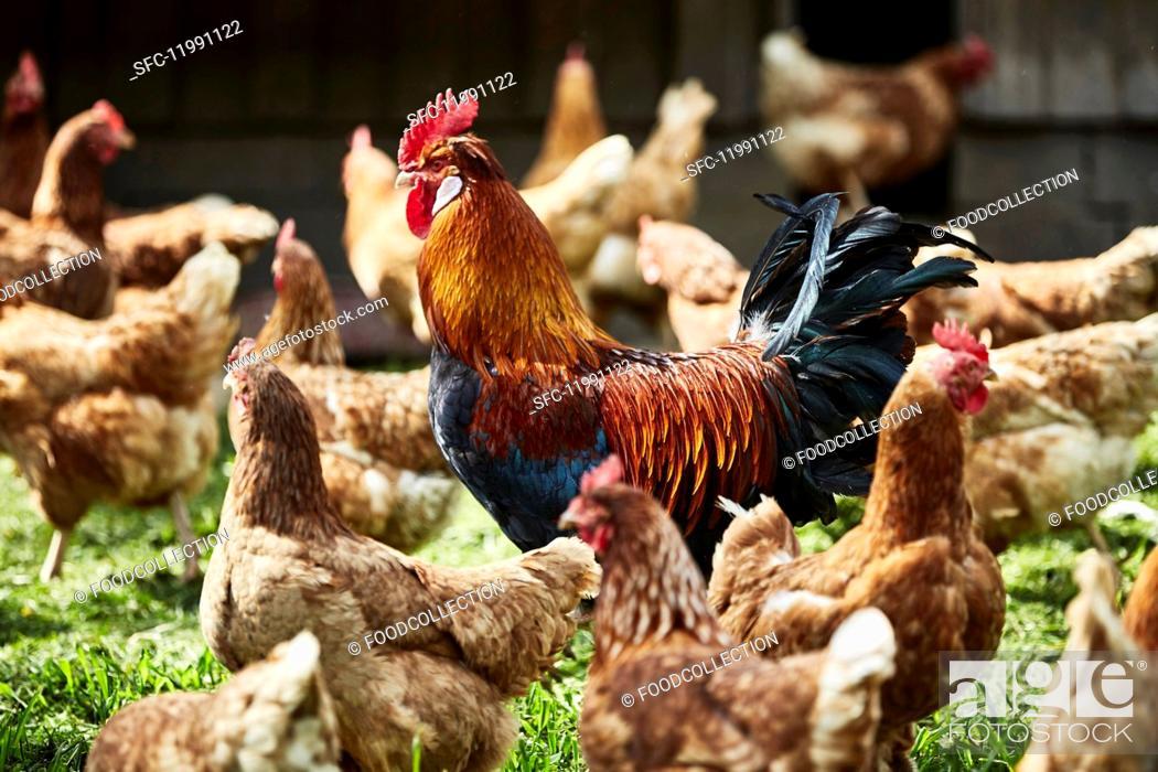 Stock Photo: Free-range organic chickens.
