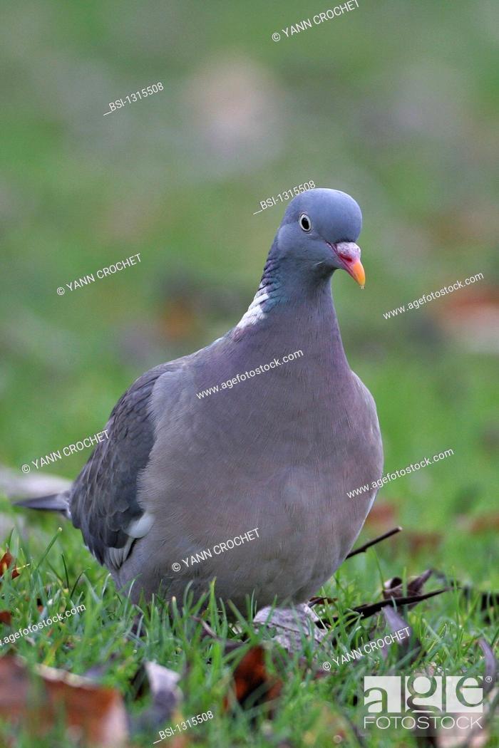 Stock Photo: Wood pigeon Columba palumbus, picture taken in Picardy, France. Columba palumbus  Wood pigeon  Pigeon  Columbid  Bird.