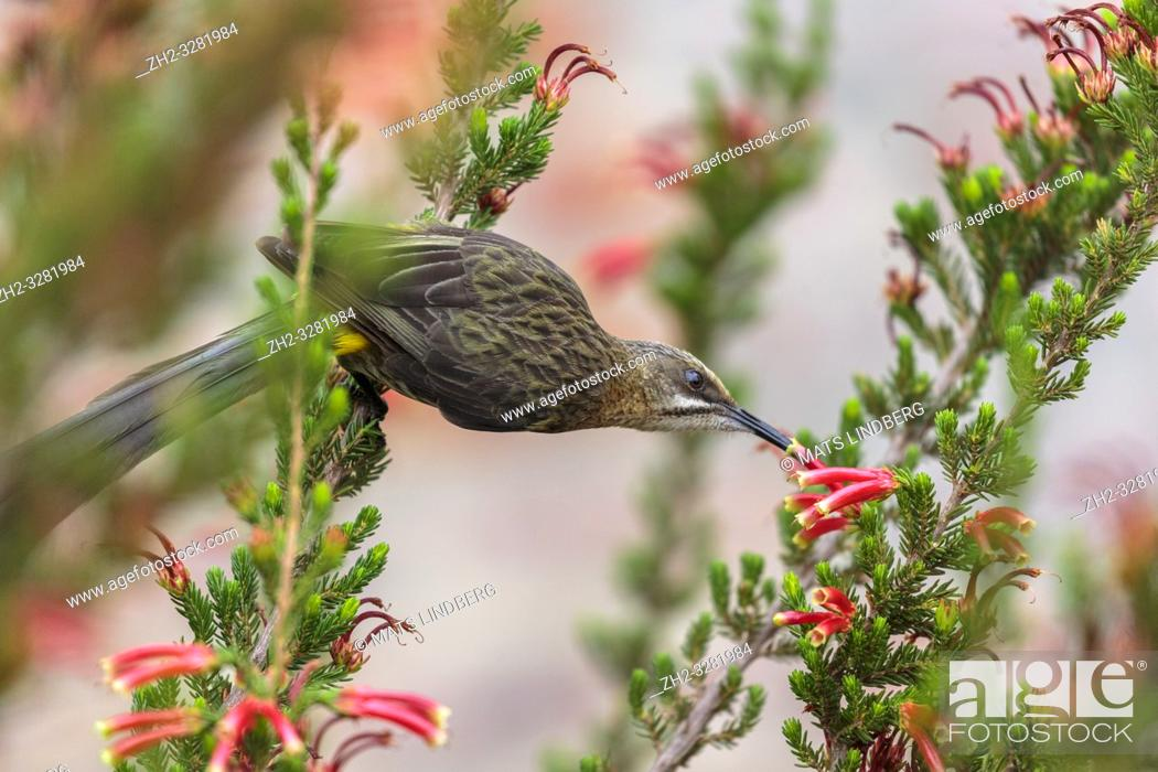 Stock Photo: Male Cape sugarbird, Promerops cafer, sitting on a flower sucking nectar, Western cape, South Africa.